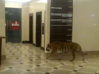 В торговый центр Хабаровска забрёл амурский тигр: видео